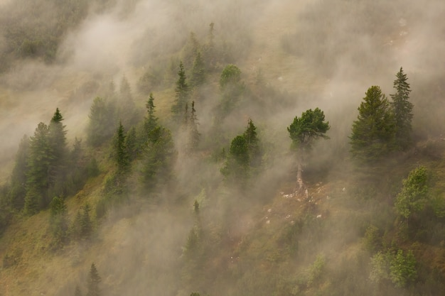 Загадочный сосновый лес аролла, растущий на склоне холма, покрытый туманом