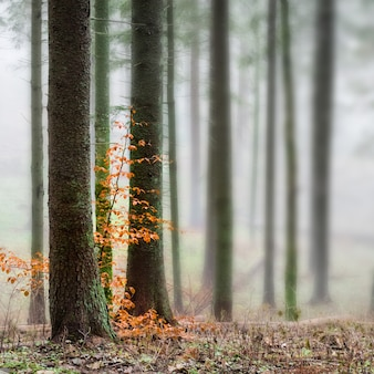 Mysterious fog in the green forest with pine trees. orange leaves in a front.