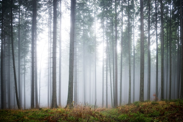 Mysterious fog in the green forest with pine trees