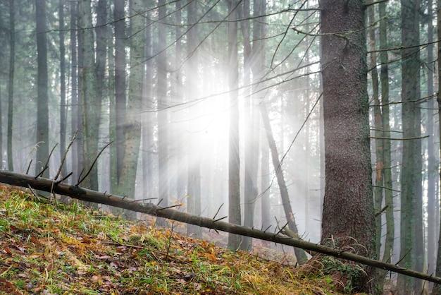 松の木と輝く太陽のある緑の森の不思議な霧