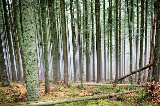 松の木が生い茂る緑の森の不思議な霧