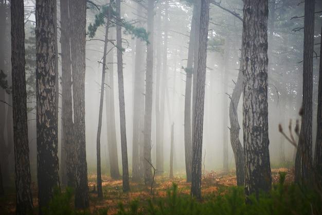 녹색 소나무와 미스터리 안개 낀 숲