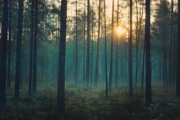 Мистический лес на рассвете, между стволами сосен стоит голубой туман.