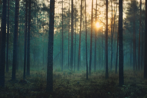 Mystical forest at dawn, blue mist stands between the trunks of the pines.