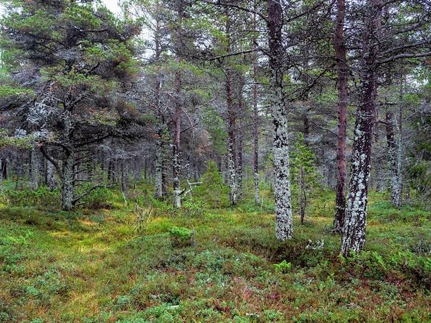 신비로운 북부 숲. 이끼로 덮여있는 나무. 콜라 반도의 깊은 숲. 러시아.