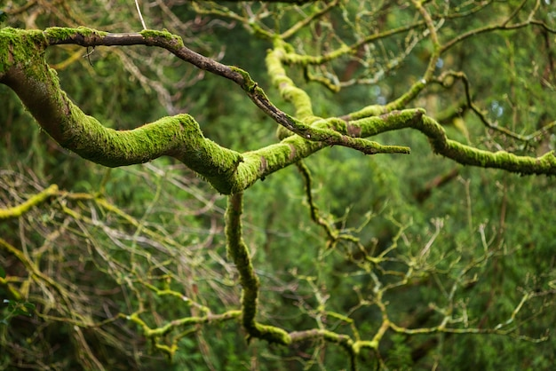 Mystical woods, natural green moss on the old oak tree branches. natural fantasy forest