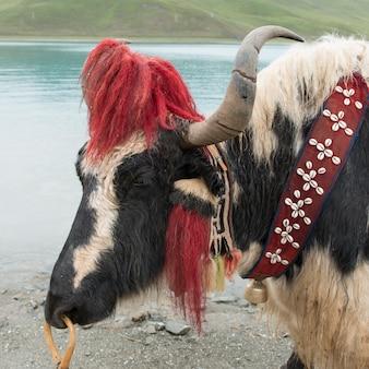 ヤングロク湖、nagarze、shannan、チベット、中国の前に装飾されたヤクのクローズアップ
