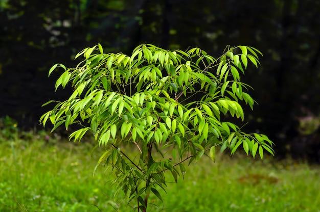 Нагасари (mesua ferrea), растение из семейства gutiferae