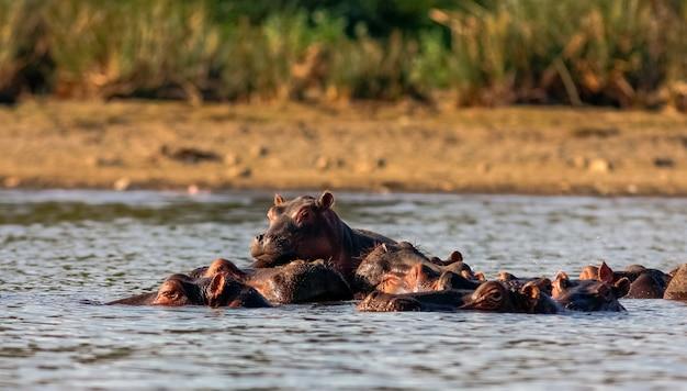Найваша бегемоты и семья. кения, африка
