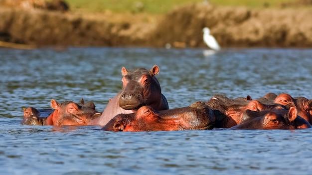 Найваша бегемоты и цапля. альфа-самец. кения, африка