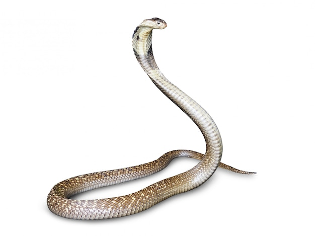Nake cobra (naja kaouthia) isolated on white background. this aspic, poisonous living in southeast asia.