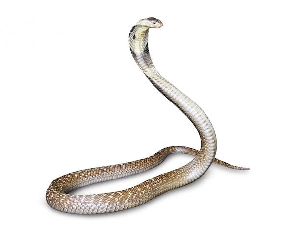 白い背景に分離されたnakeコブラ(naja kaouthia)。東南アジアのこのアスピック、有毒な生活。