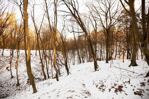 丘のある森に生え、昇る太陽の薄暗いオレンジ色の光に照らされた裸の落葉樹。一年の冬の時期、地面には降雪後の白い雪があります。