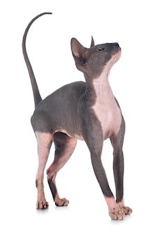 Naked sphinx dog