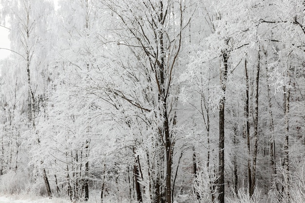 Naked trunks of deciduous trees in the winter season. the thin branches of the tree are covered with a thick layer of white hoarfrost after night frosts. photo close up