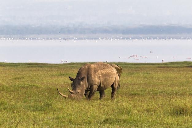 Пляж накуру. белый носорог, кения