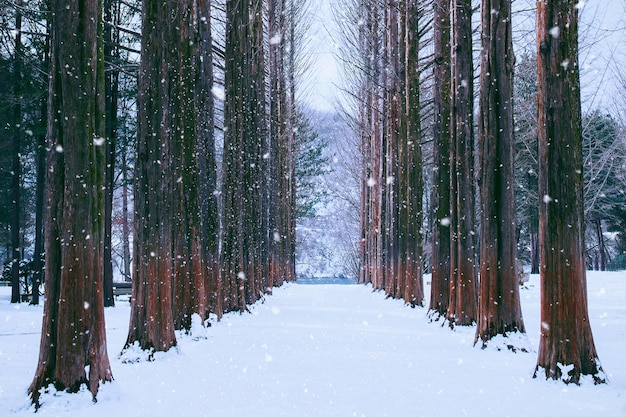 Nami island in korea,row of pine trees in winter.