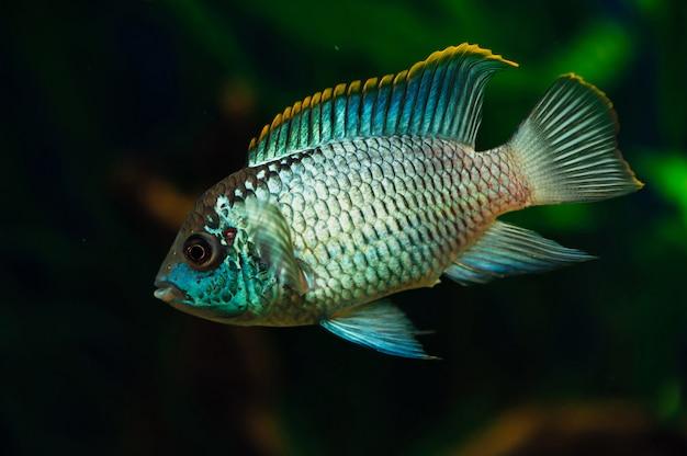 Nannacara blue aquarium fish   algae cichlids.