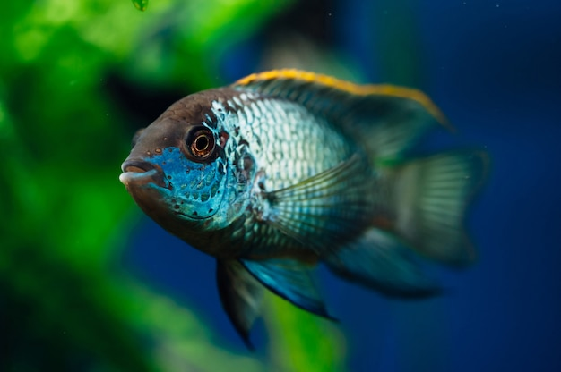 Nannacara. blue aquarium fish