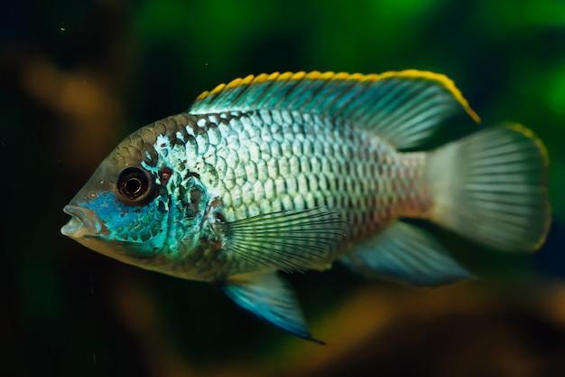 Аквариумные рыбы nannacara крупным планом