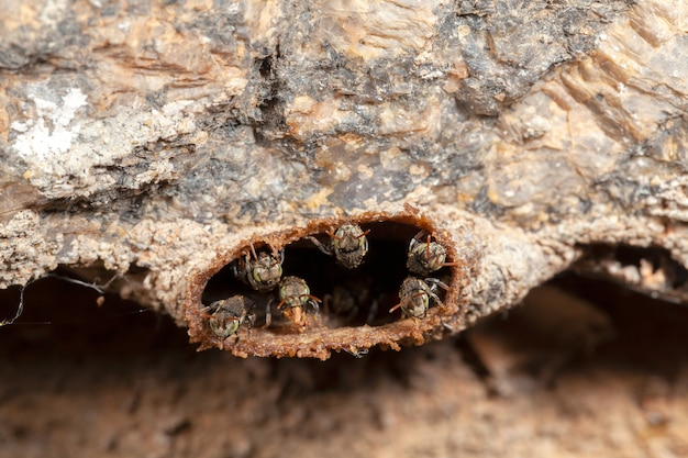 Nannotrigona testaceicornis irai stingless bee on hive