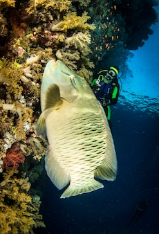 ナポレオン魚またはメガネモチノウオ(cheilinus undulatus)を海中の水中で。青い海の水中の海洋生物。観察動物の世界。アフリカ沿岸の紅海でのスキューバダイビングアドベンチャー