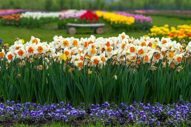 Narcissus field in bloom on spring in garden