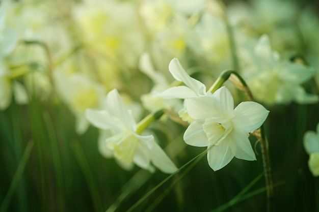 Narcissus flower.