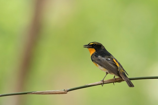 Narcissus flycatcher, abstract background