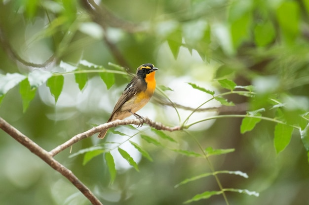 Narcissus flycatcher, abstract background Premium Photo