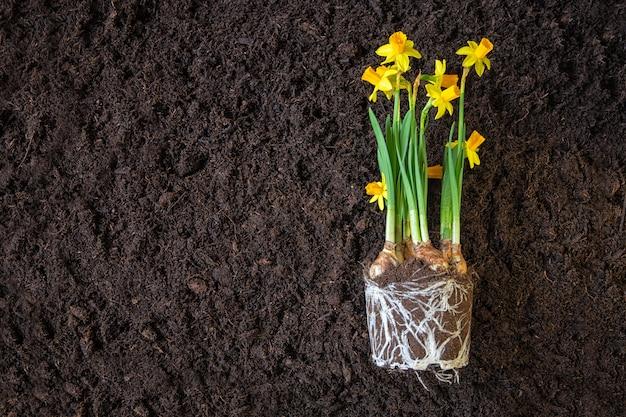 수정 된 토양에 수 선화 식물