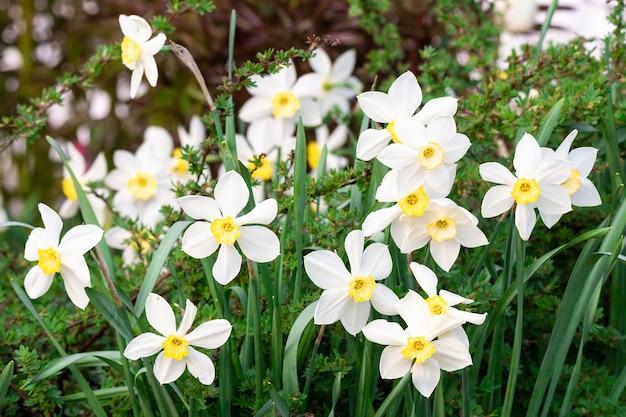 白い水仙(narcissus poeticus)