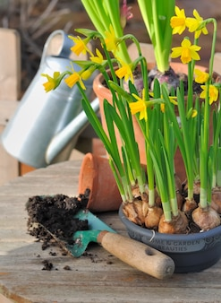 Narcissus and potting