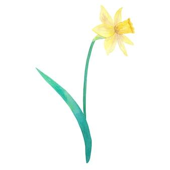 水仙。黄色い花。水彩手描きイラスト。白い壁に隔離。