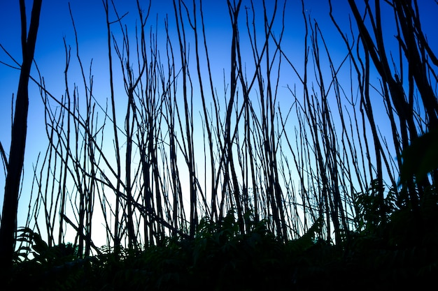 Narrow dry tree trunks at dusk