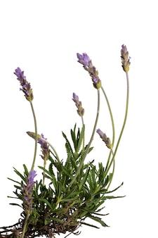 Narrow-leaved lavender flowers