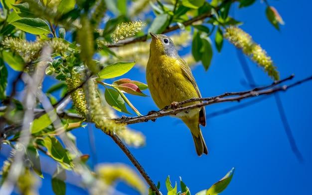 Нашвиллская певчая птица (leiothlypis ruficapilla)