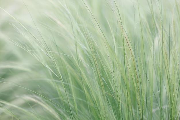 Nassella tenuissima는 바람의 가장 작은 호흡 개념에서 선조 패턴을 형성합니다.