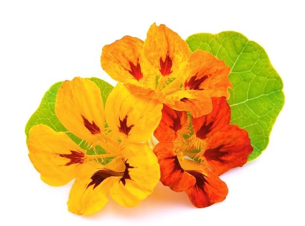Настурция цветы крупным планом