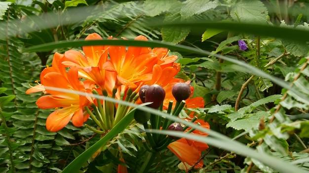 나탈 부시 카피르 백합 꽃, 캘리포니아, 미국. clivia miniata 오렌지 화려한 이국적인 불 같은 활기찬 식물 꽃. 열대 정글 열대 우림 분위기. 자연 정원 생생한 신선한 육즙 녹지