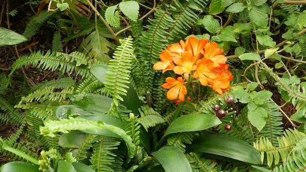 Натальный куст кафир цветок лилии калифорния сша кливия миниата оранжевый яркий экзотический огненный яркий ботанический цвет тропические джунгли атмосфера тропических лесов природный сад яркий свежий сочная зелень