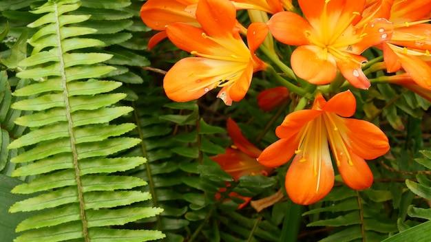 Натальный куст цветок лилии кафир, калифорния, сша. clivia miniata оранжевый яркий экзотический яркий ботанический цветок. атмосфера тропических джунглей тропического леса. естественный сад яркой свежей сочной зеленью.
