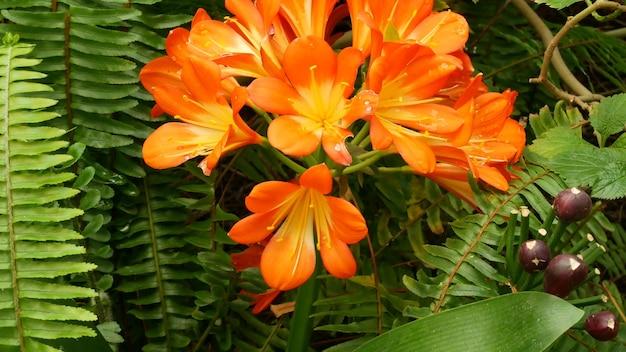 Натальный куст цветок лилии кафир. clivia miniata оранжевый экзотический ботанический цветок. тропическая садовая зелень