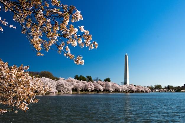Национальная аллея в окружении цветущей сакуры и озера под солнечным светом в вашингтоне.