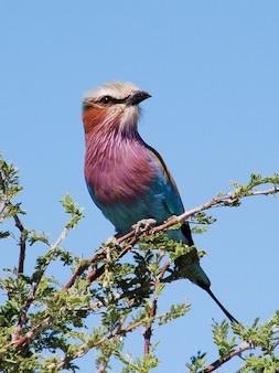 Ролик ботсвана птицы nationaltier раздвоенным животных