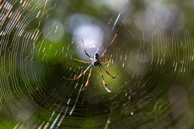 The native spider on its web in madagascar