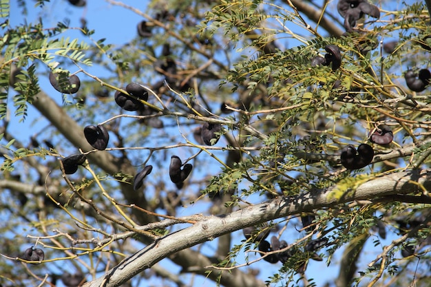 Native tree of south america vulgarly known as ear of black