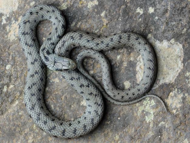 地中海の草のヘビ(natrix astreptophora)セニタールショット。