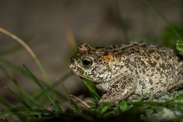 The natterjack toad, bufo calamita, sitting in grass on the beach of skagen, denmark.