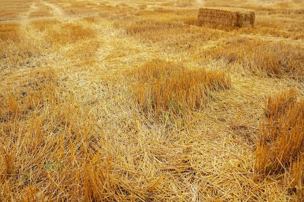 마른 밀 잔디와 건초 더미가 있는 땅의 자연 농업 배경.